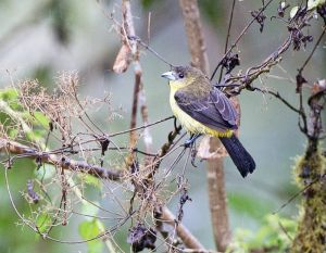 Flame rumped Tanager