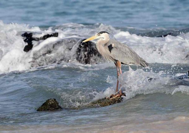 Galapagos Grey Heron 2