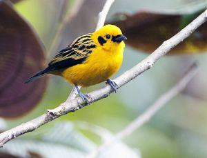 Golden Tanager 1