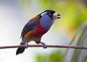 Toucan Barbet 1