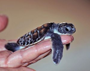 Blog-Anungala-turtle-hatchery-3