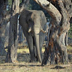 Elephant Hwange 2