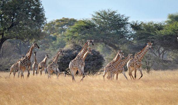 Giraffe Hwange 21