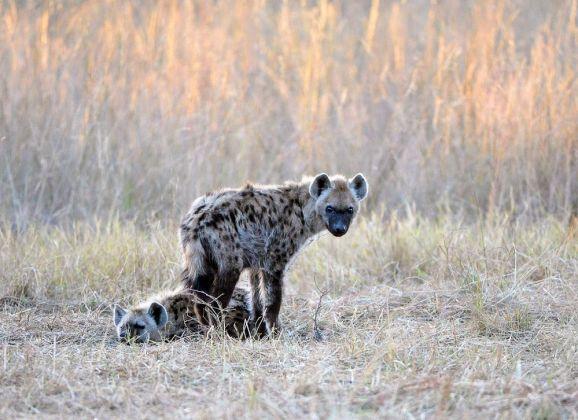 Hyena pups 1