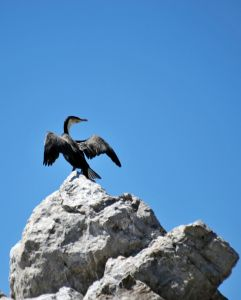 La Croix island, cormorant 3, Port Elizabeth, South Africa