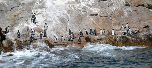 La Croix island, penguins 8, Port Elizabeth, South Africa