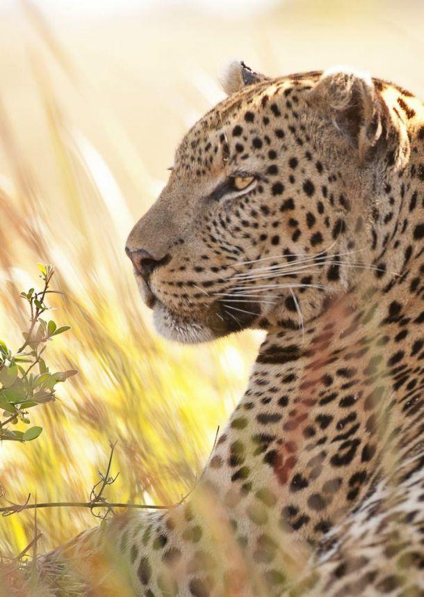Leopard Hwange CF3_2943 copy