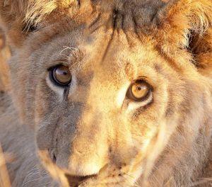 Lion cub CFC_2469