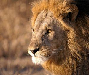 Lion male CFC_2239