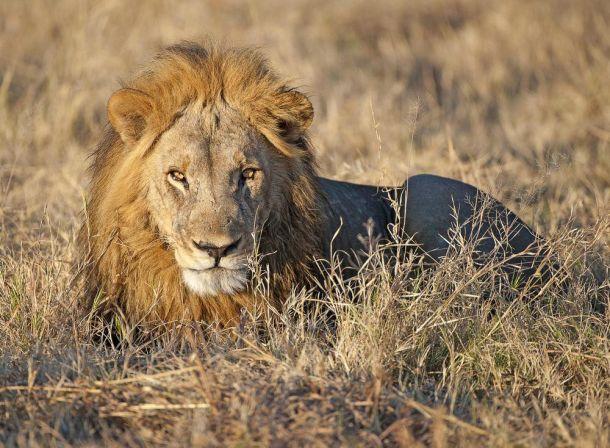 Lion male CFC_2489