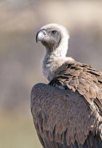 White backed Vulture CFA_0860
