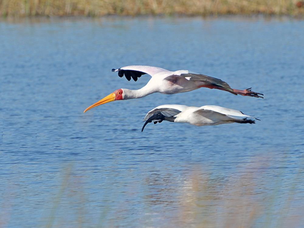 Yellow billed Stork and Sacred Ibis in flight 1