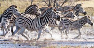 Zebra CFA_0886a