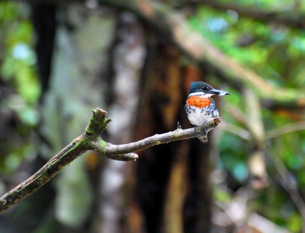 Amazon Kingfisher, Corcovado, Costa Rica