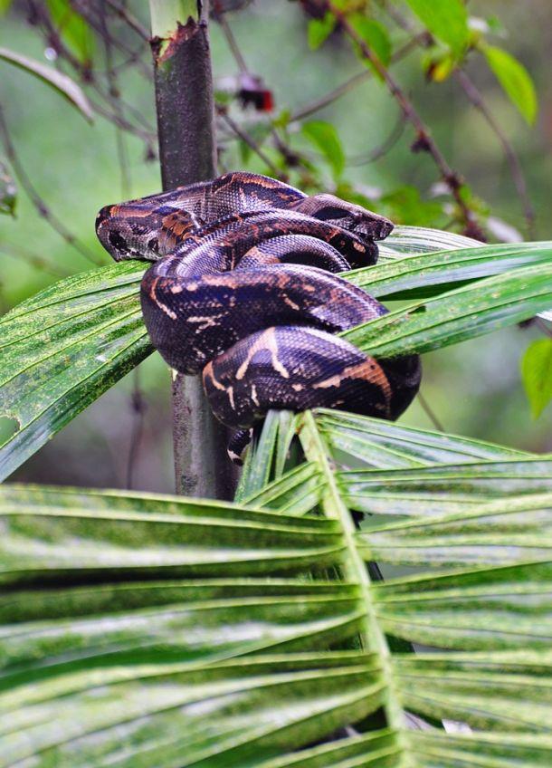 Anaconda, Corcovado, Costa Rica