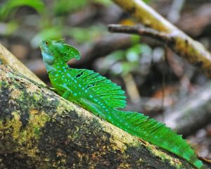 Basilisk, Jesus Christ, Lizard 2, Costa Rica