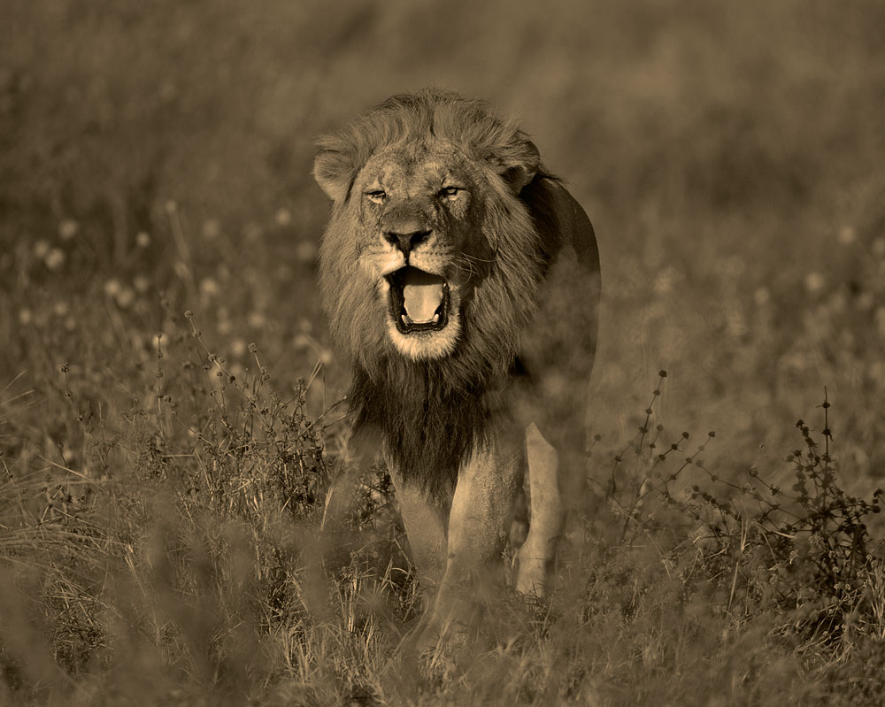 Blog-Hwange_Lion-male-CFC_2228-copy