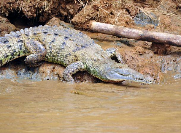 Crocodile, Corcovado 4, Costa Rica