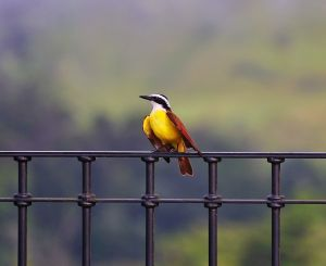 Great Kiskadee, Manuel Antonio, Costa Rica