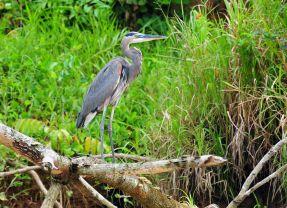 Grey Heron, Corcovado, Costa Rica