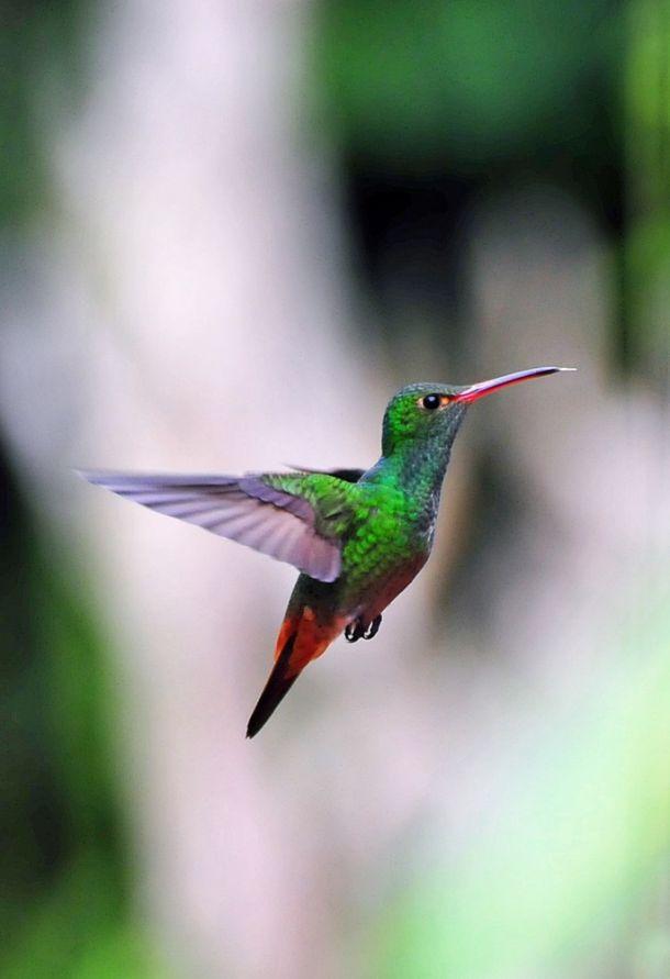 Hummingbird - Canivets Emerald 2, Costa Rica