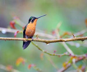 Hummingbird - Purple-throated Mountain Gem, Costa Rica