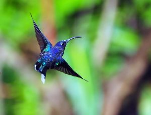 Hummingbird - Violet Sabrewing 2, Costa Rica