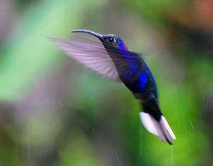 Hummingbird - Violet Sabrewing, Costa Rica
