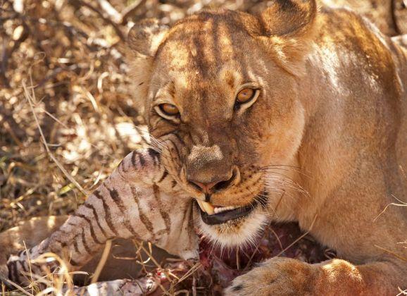 Lions Hwange CF2_3421