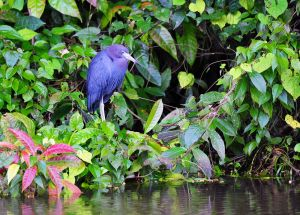 Little Blue Heron 2, Tortuguero, Costa Rica