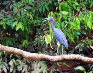 Little Blue Heron, Corcovado, Costa Rica