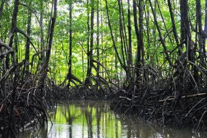 Mangrove swamps, Corcovado, Costa Rica