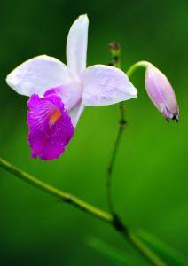 Orchid 2, Costa Rica