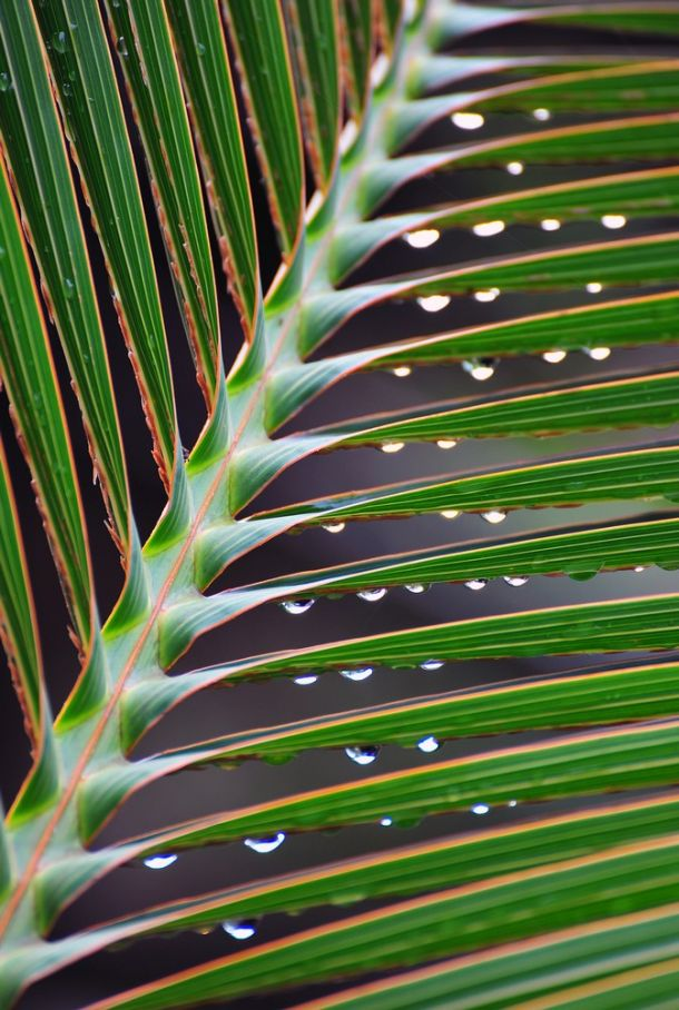 Rain droplets on palm leaf
