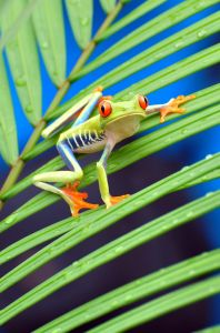 Red-eyed Tree Frog 9, Costa Rica