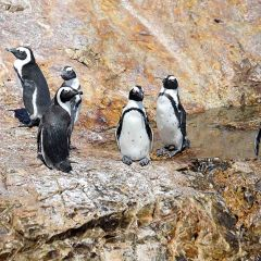 On the Raggy edge – South African Penguins make a splash
