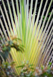 Traveller Palm, Costa Rica