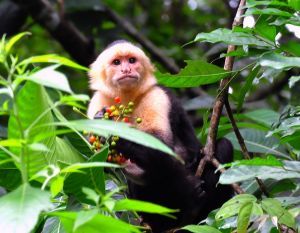 White-faced Monkey, Costa Rica