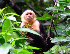 White-faced Monkey, Costa Rica