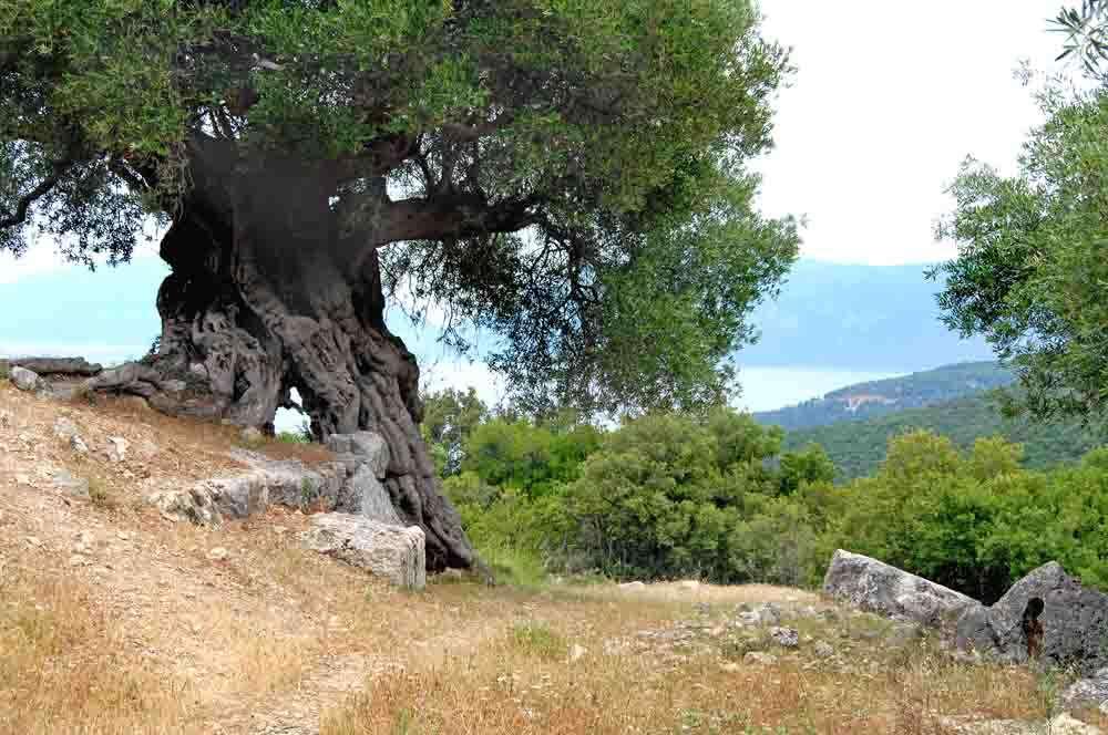 TLC Olive tree