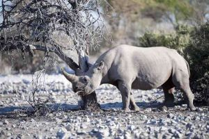 FEATURE Etosha Black Rhino 2