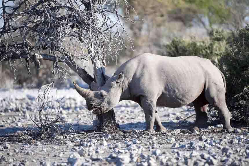 FEATURE Etosha Black Rhino 2