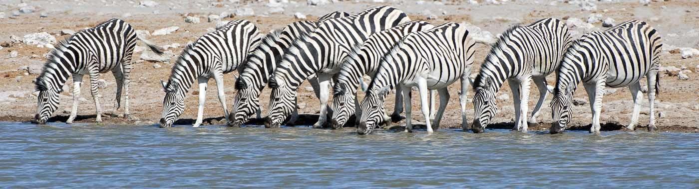HEADER Etosha Zebra group 1