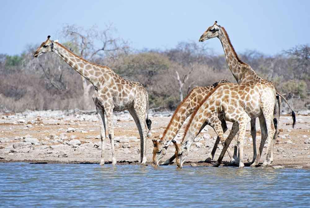 TLC Etosha Giraffe group 6