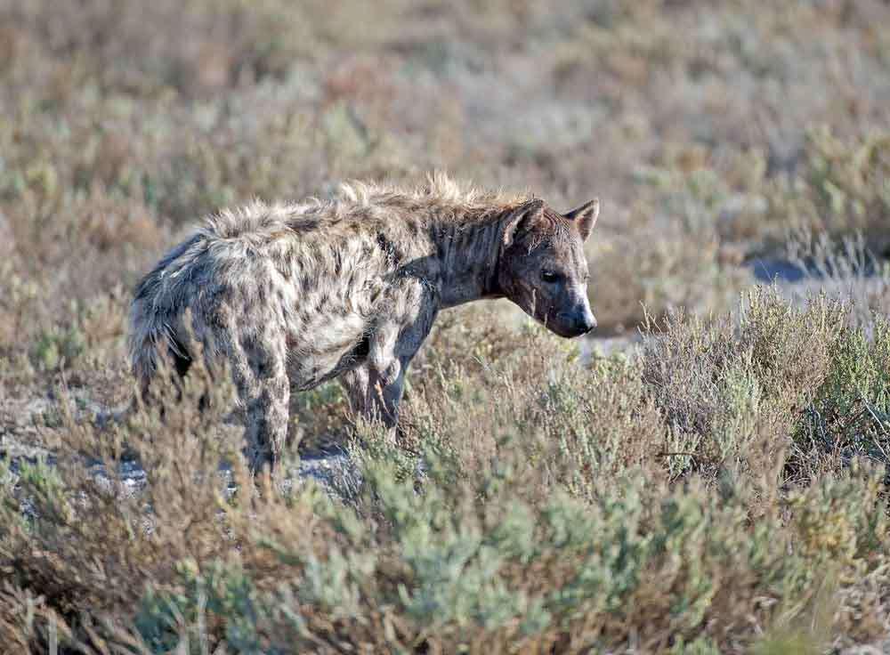 TLC Etosha Hyena 1