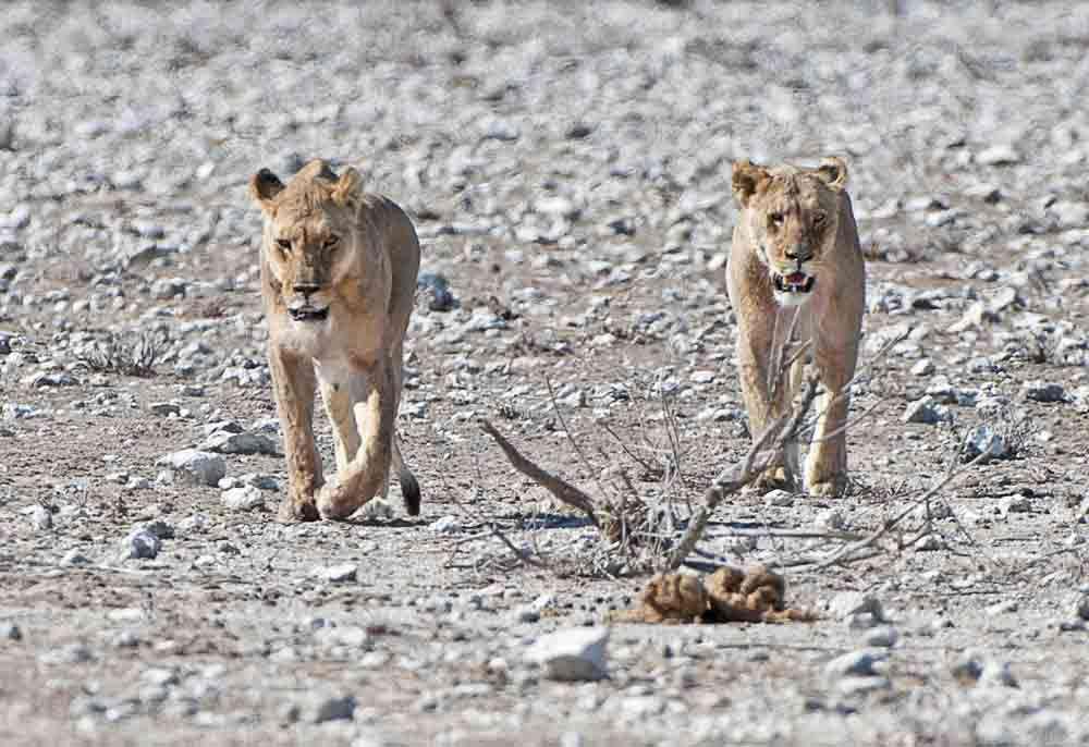 TLC Etosha Lioness 20