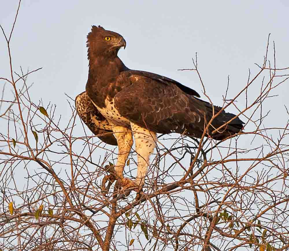 TLC Etosha Martial Eagle on tree top 2