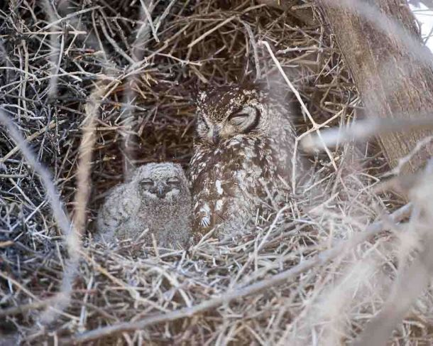 TLC Etosha Spotted Eagle Owl female and young 1