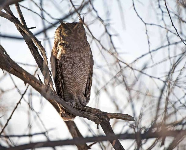 TLC Etosha Spotted Eagle Owl male