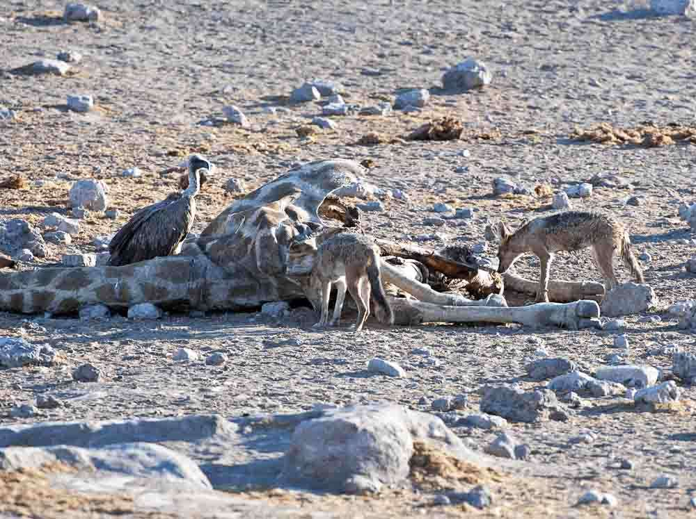 TLC Etosha White-backed Vulture and Jackal 4